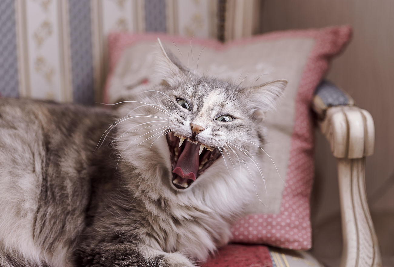 Cat yawning and sitting on a stripped background Animal Themes Cat Chair Close-up Day Domestic Animals Domestic Cat Feline Fur Gray Indoors  Mammal Mouth Open No People One Animal Pet Pets Protruding Relax Tabby Cat Wink Yawn Yawning