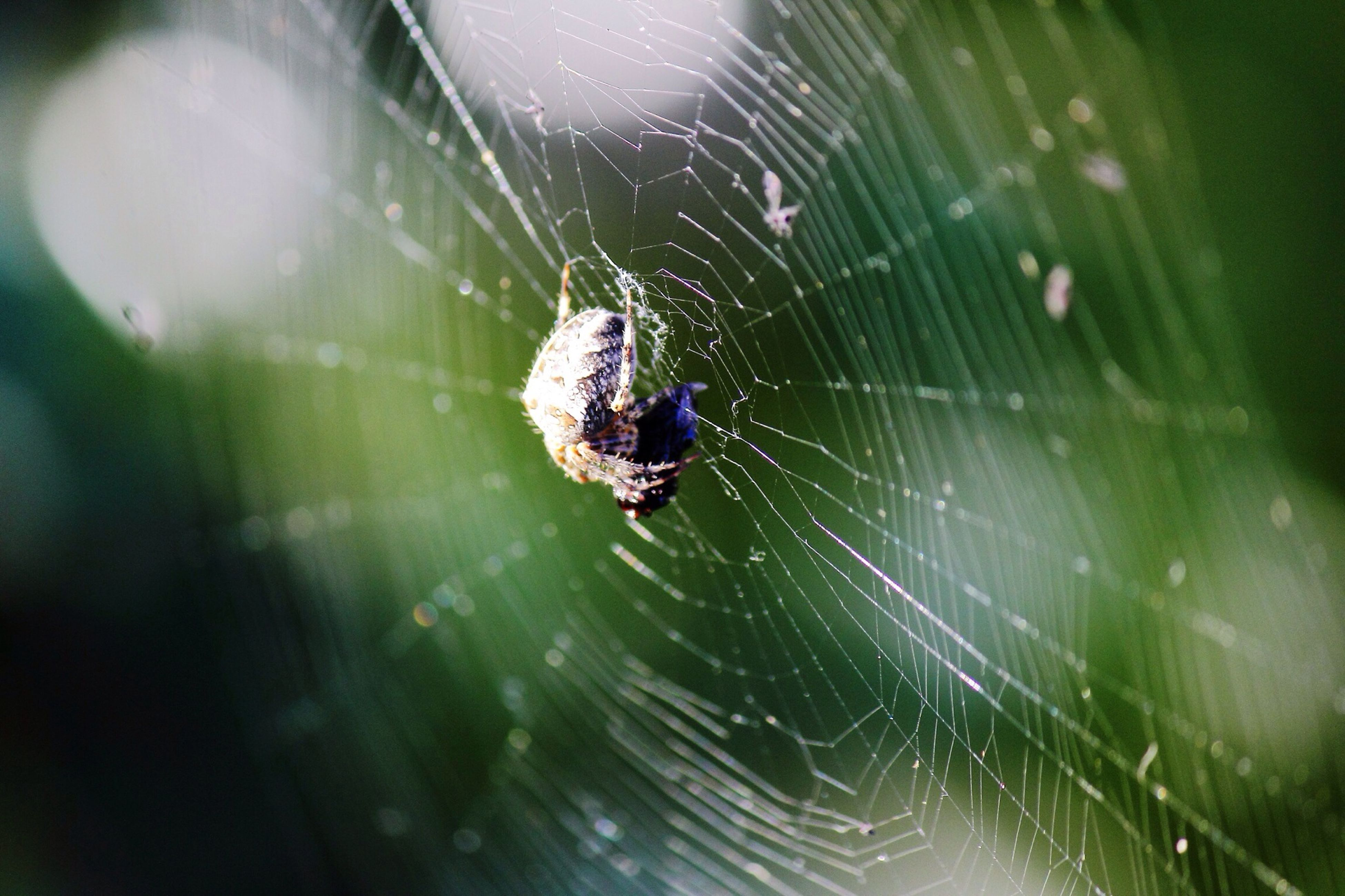 spider web, animal themes, one animal, spider, insect, animals in the wild, wildlife, focus on foreground, web, close-up, spinning, selective focus, arachnid, drop, nature, fragility, full length, outdoors, no people, day