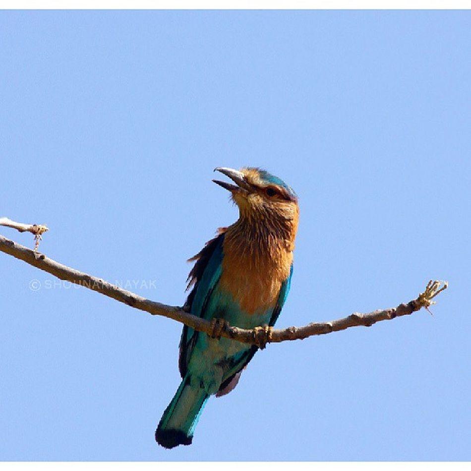 An Indian Roller. ShounakNayakPhotography Wildlife Bandhavgarh Bird
