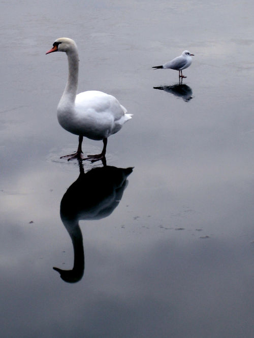 Animal Themes Animal Wildlife Animals In The Wild Beauty In Nature Bird Day Nature No People Outdoors Reflection Water Shadow Swan Winter Wintertime Austria Blue Danube EyeEmNewHere