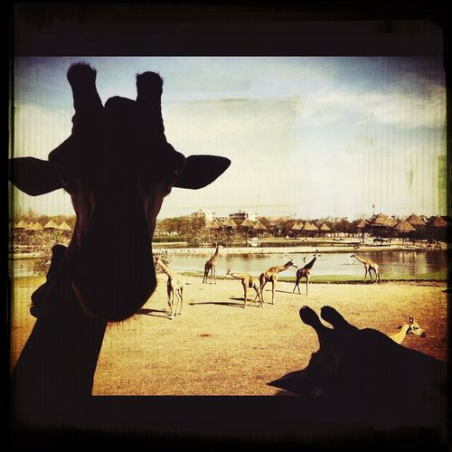 Photo By Me Giraffe♥ Lovers Zoo Darkness And Light