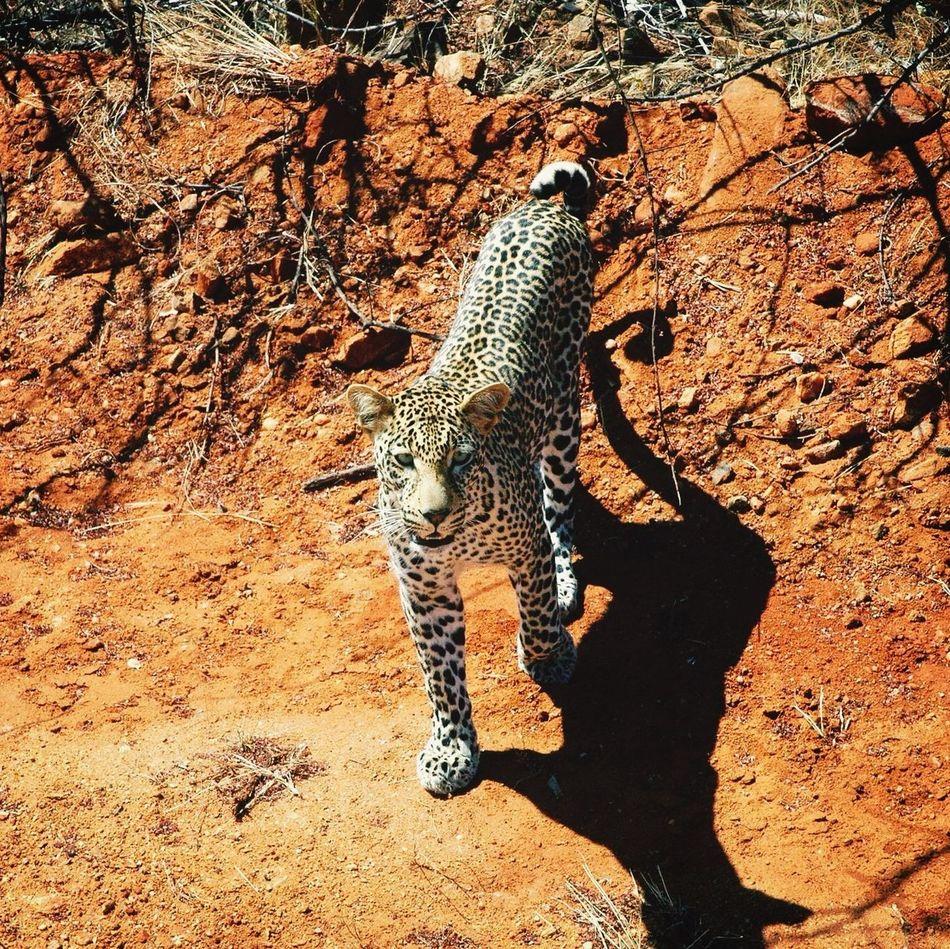 Beautiful stock photos of leopard, Adult Animal, Animal, Animal Face, Animal Head