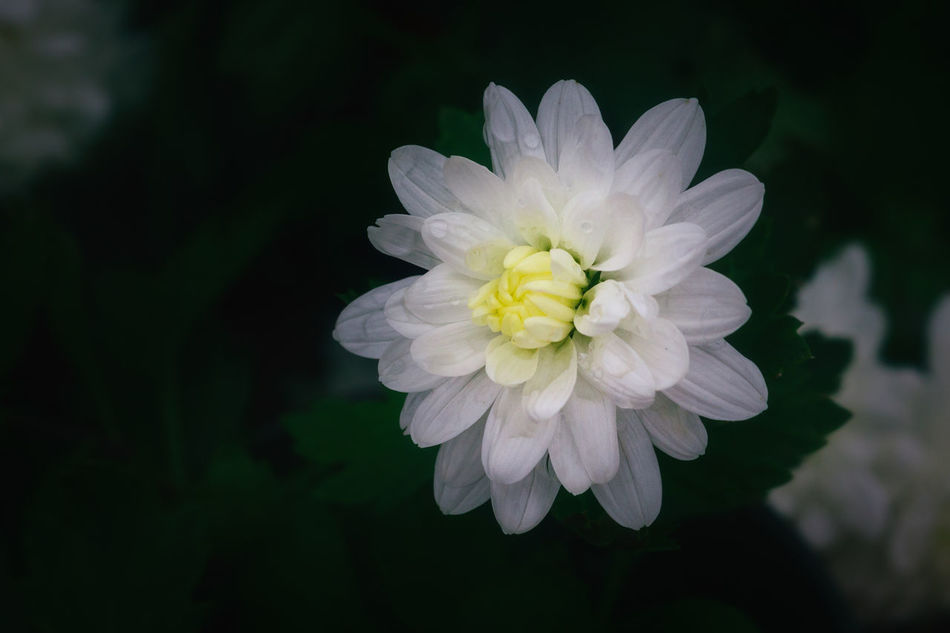 Blooming Close-up Day Flower Flower Head Growth Nature No People Outdoors Petal Plant White Color