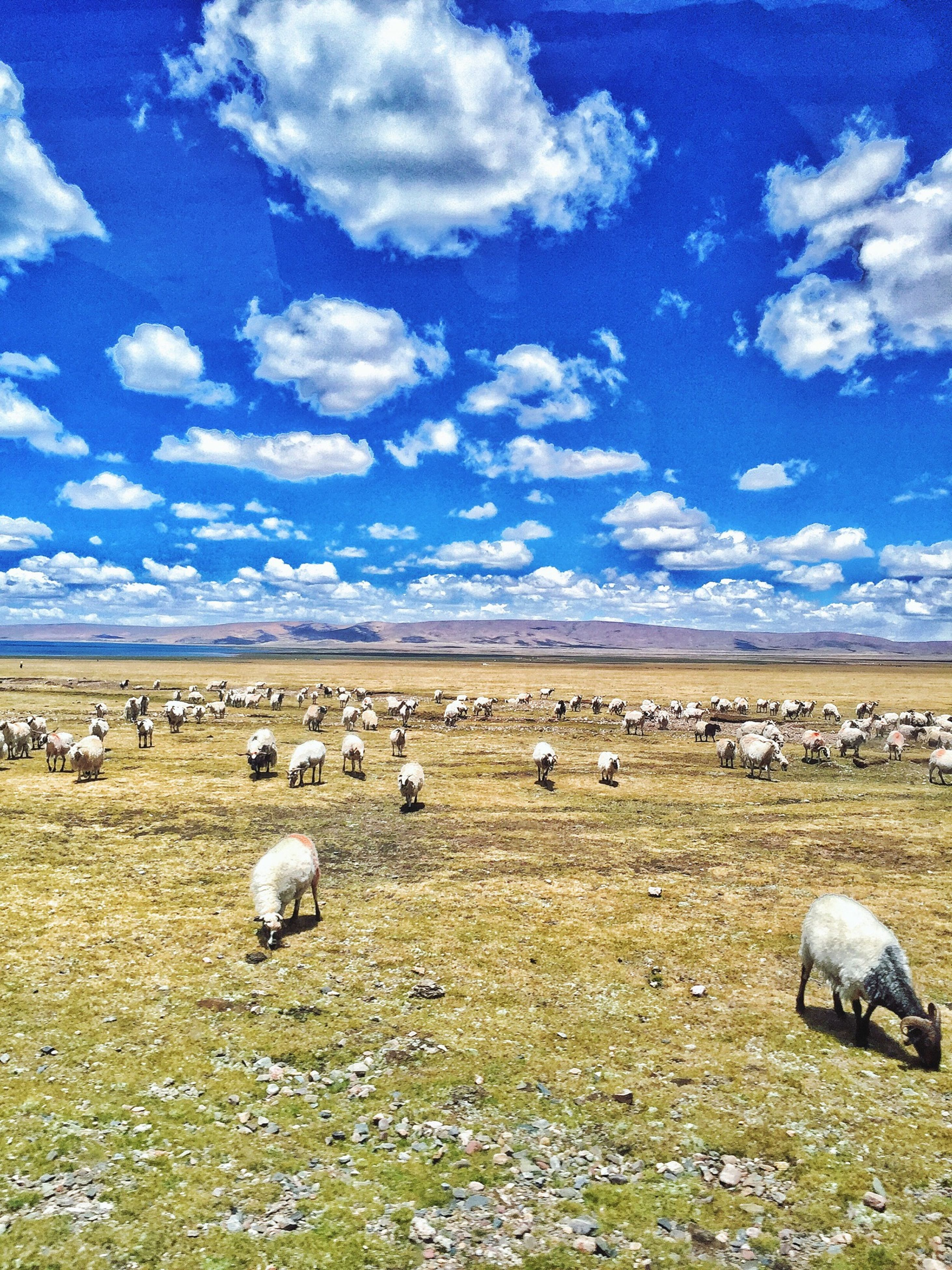 animal themes, sky, field, landscape, cloud - sky, grass, animals in the wild, wildlife, bird, tranquil scene, nature, rural scene, sheep, medium group of animals, livestock, hay, tranquility, beauty in nature, bale