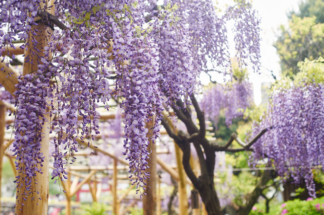 Beauty In Nature EyeEm Best Shots Eyem Nature Lovers  Growth Nature Nature Photography No People Violet Violet Flowers Wisteria Wisteria Flower Wisteria Flowers