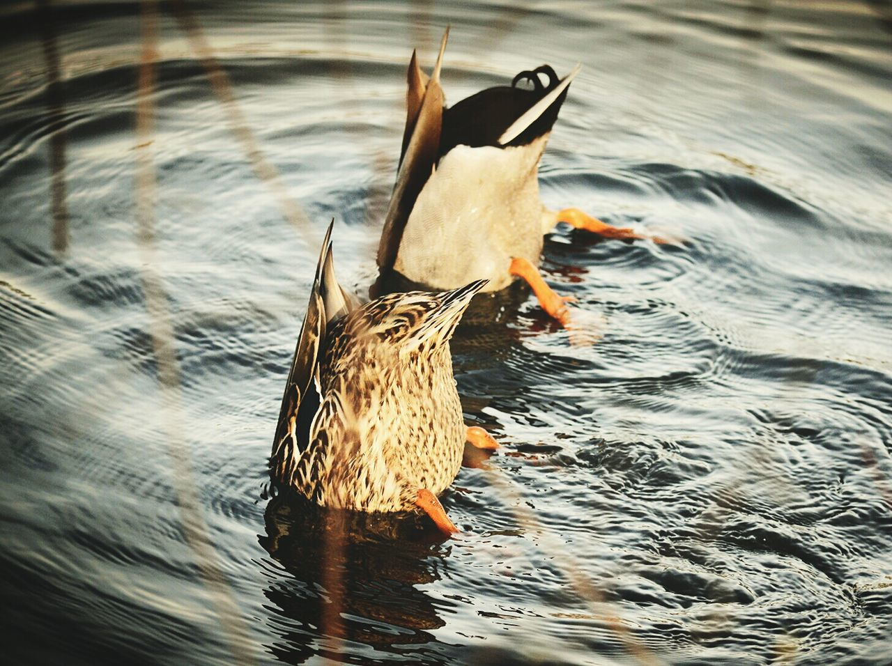 Fishing Nature Ducks Small And Swift Capture The Moment