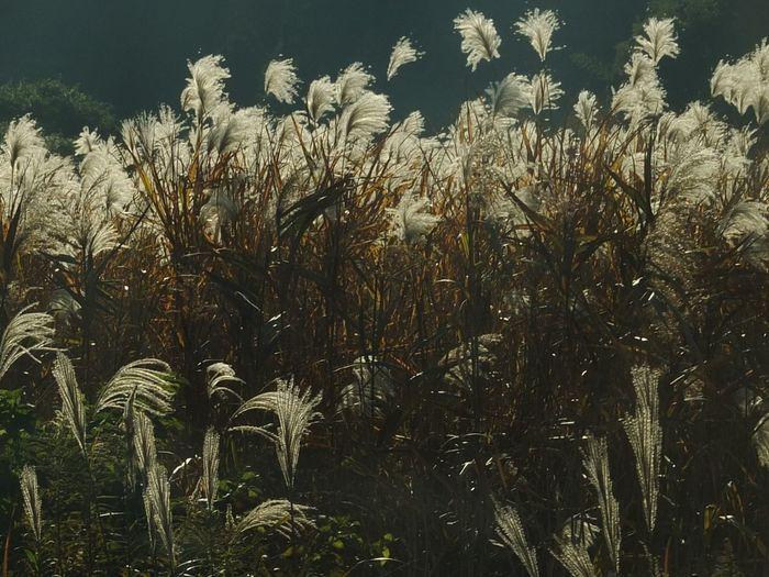 Japanese Silver Grass