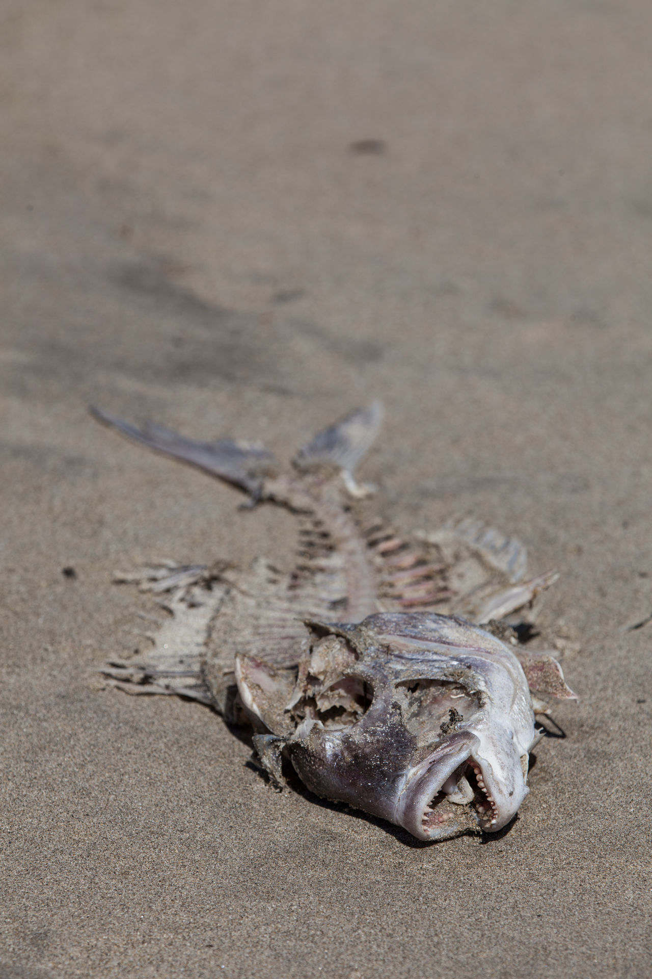 Abandoned Animal Themes Beach Close-up Dead Animal Death Eaten Fish Food Nature Outdoors Sand Sealife Skeleton