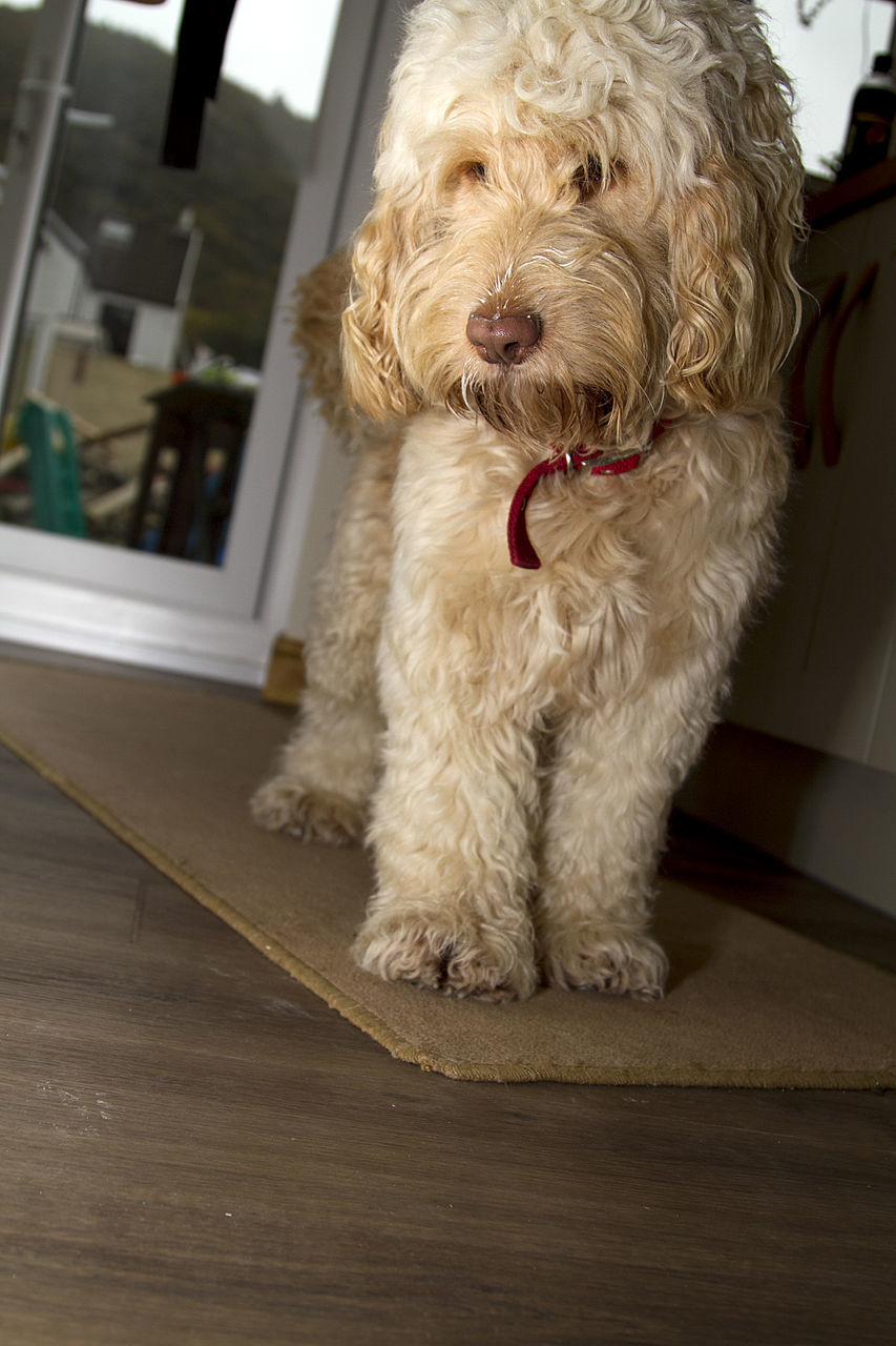 dog, pets, one animal, domestic animals, mammal, animal themes, home interior, indoors, full length, no people, day, nature, close-up
