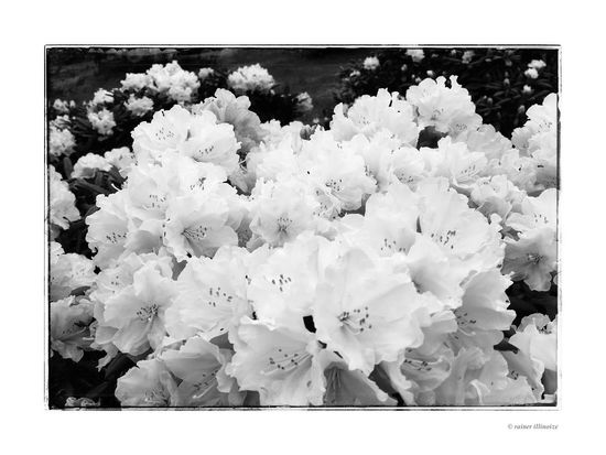 Flowers Blackandwhite Hello World Taking Photos Enjoying Life Rhododendron HohensteinErnstthal May Walking Around White Flower