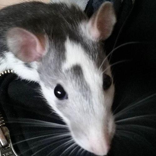Hey.. Darf ich vorstellen??? Das ist Cookie. Das neue mädel in meinem kleinen Ratten Rudel. Es steht noch nicht fest ob ich sie behalten kann, also wünscht mir glück das alles gut geht. Das Passwort von meinem Acc habe ich glücklicher wieder gefunden und es kommen hoffendlich auch wieder regelmässig bilder und updates über mich. Wir haben zur zeit Herbstferien und ich habe seit gestern endlich eine neue schlafchouch und hoffe das ich endlich mal wieder richtig durchschlafen kann. Als die chouch kam habe ich auch meinen alten schreibtisch rausgeschmissen und meine alte ritzscherre wieder gefunden.. Es war ein komisches gefühl sie wieder in der hand zu haben.. Ich weiß nicht was mit mir los ist.. Ich dachte eigentlich mir geht es gut aber ich liege einfach hier, starre löcher in die luft, hoere musik und denke über alles mögliche nach.. Ich wünsche euch eine gute Nacht.. Mal sehen wie lang meine wird. Ingedanken Nachdenkend Neueratte Cookie clean seit 3wochen gutenacht Ps ist makiert