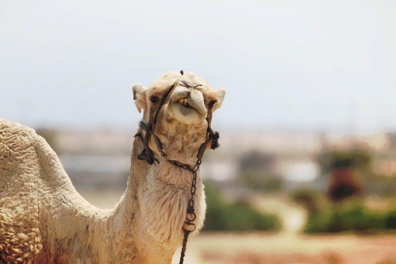 Beautiful stock photos of hump day, Animal Head, Animal Mouth, Animal Themes, Camel