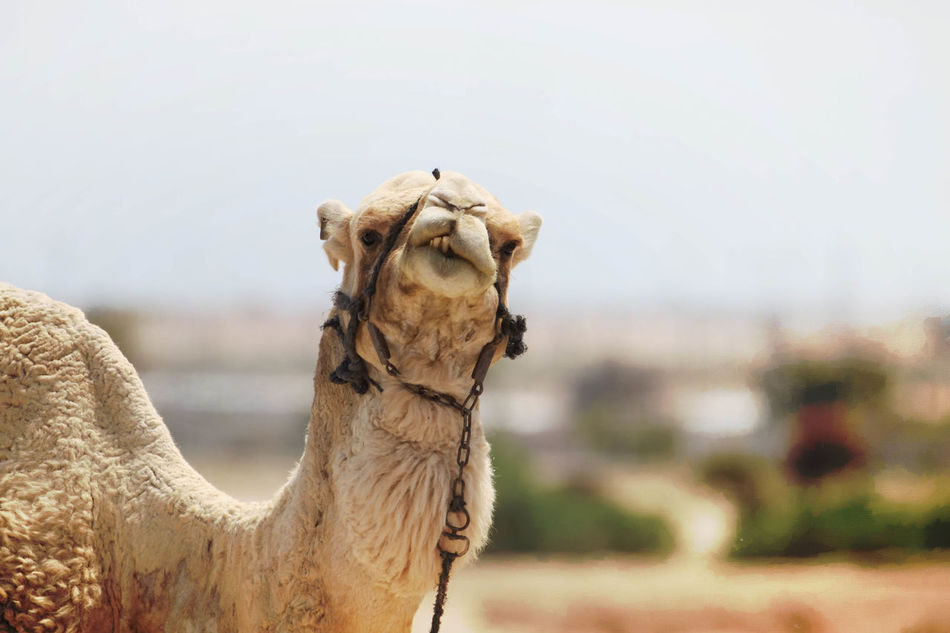 Beautiful stock photos of hump day, Animal Head, Animal Mouth, Animal Themes, Camel