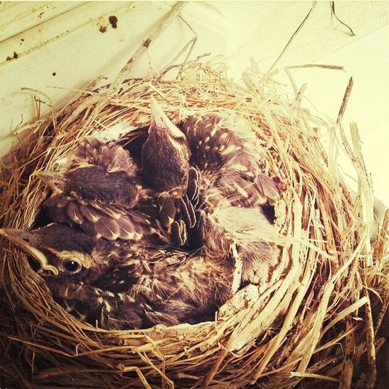 Nature Baby Robins Outside Spring