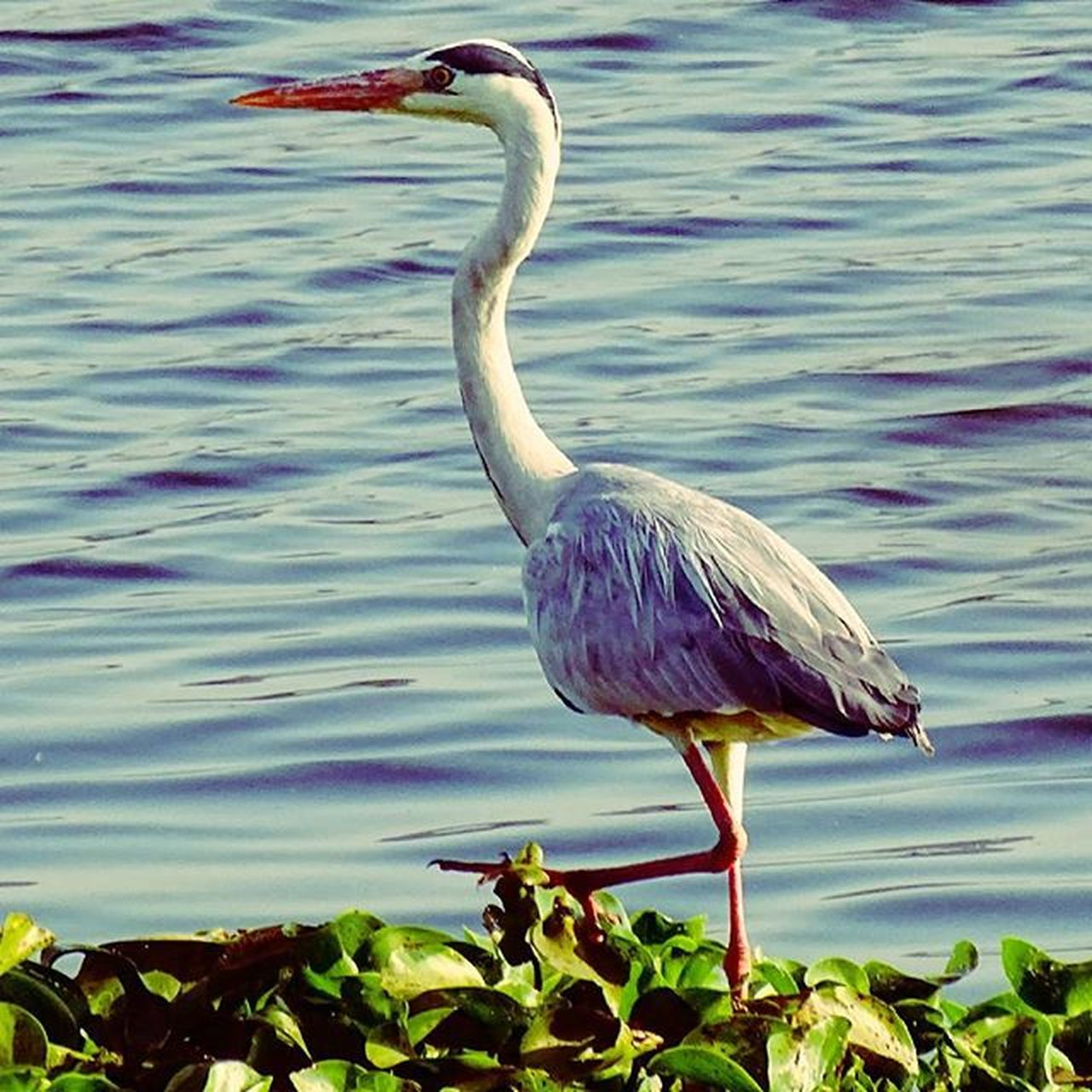 A grey heron taking a stroll .. Birdsforsure Your_best_bird Wildlife_perfection Nature_shooters Nature Nature_perfection Nature_creature_feature Nature Photography Visual_authority Igs_asia Pune_instagrammers Puneshades Pune_weekenders Ngma India_clicks Natureporn Nature Lovers