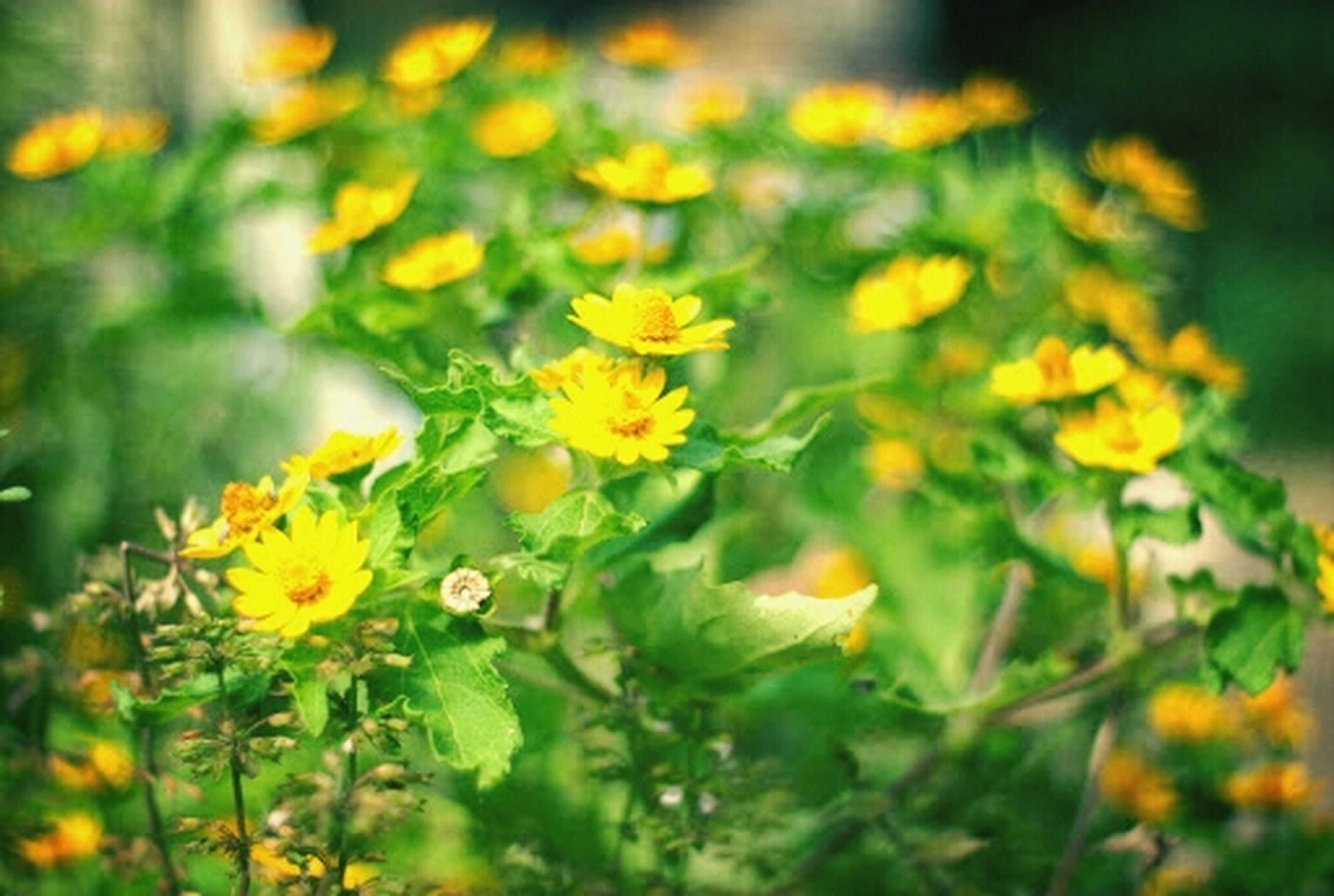 flower, freshness, yellow, growth, fragility, petal, beauty in nature, flower head, blooming, plant, nature, focus on foreground, close-up, selective focus, in bloom, field, stem, outdoors, blossom, day