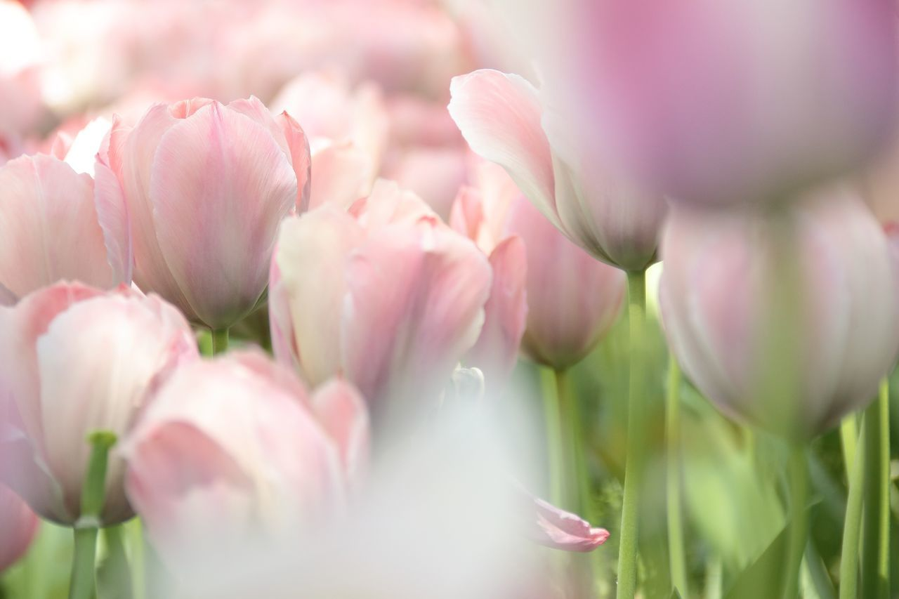 Beautiful stock photos of tulip,  Blooming,  Botany,  Close-Up,  Day