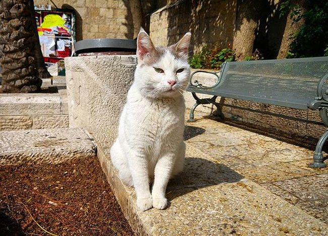 Holy Cat Cat Catsofinstagram Jerusalem Jerusalemoftheday Holycat Israel Nofilter Spring Straycat Travelingram Travel Seethesites Seetheworld  Wanderlust Familyholiday The Street Photographer - 2016 EyeEm Awards