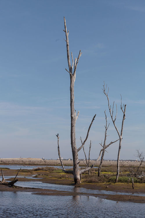 Dead trees stand tall and stark in a California marsh in summer. Blue Sky Bolsa Chica Bolsa Chica Wetlands Brackish Water California Dead Tree Death Huntington Beach Marsh Tree Water Wildlife Preserve