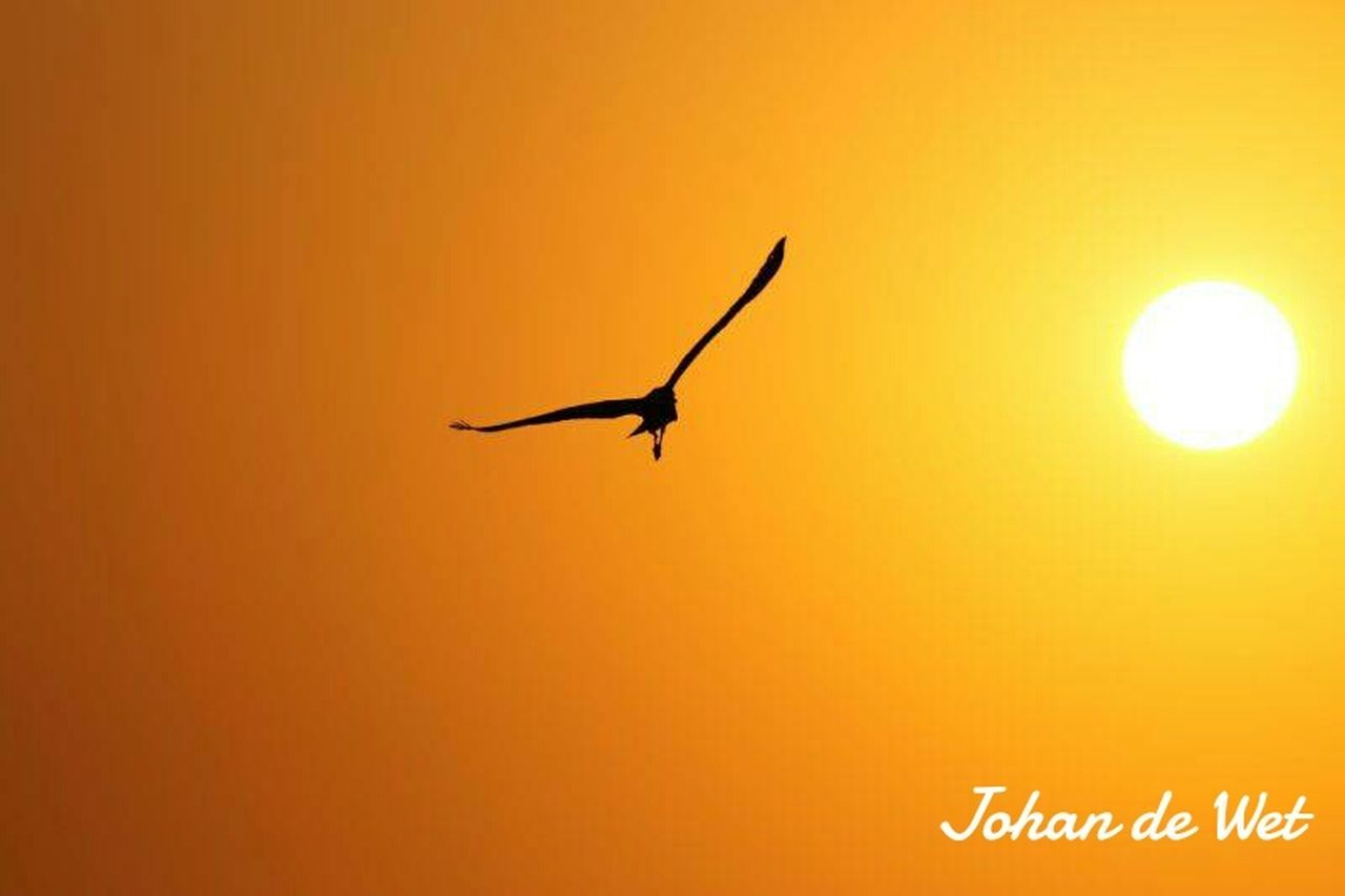flying, sunset, sun, mid-air, no people, animal themes, bird, nature, outdoors, sky, beauty in nature, day, close-up