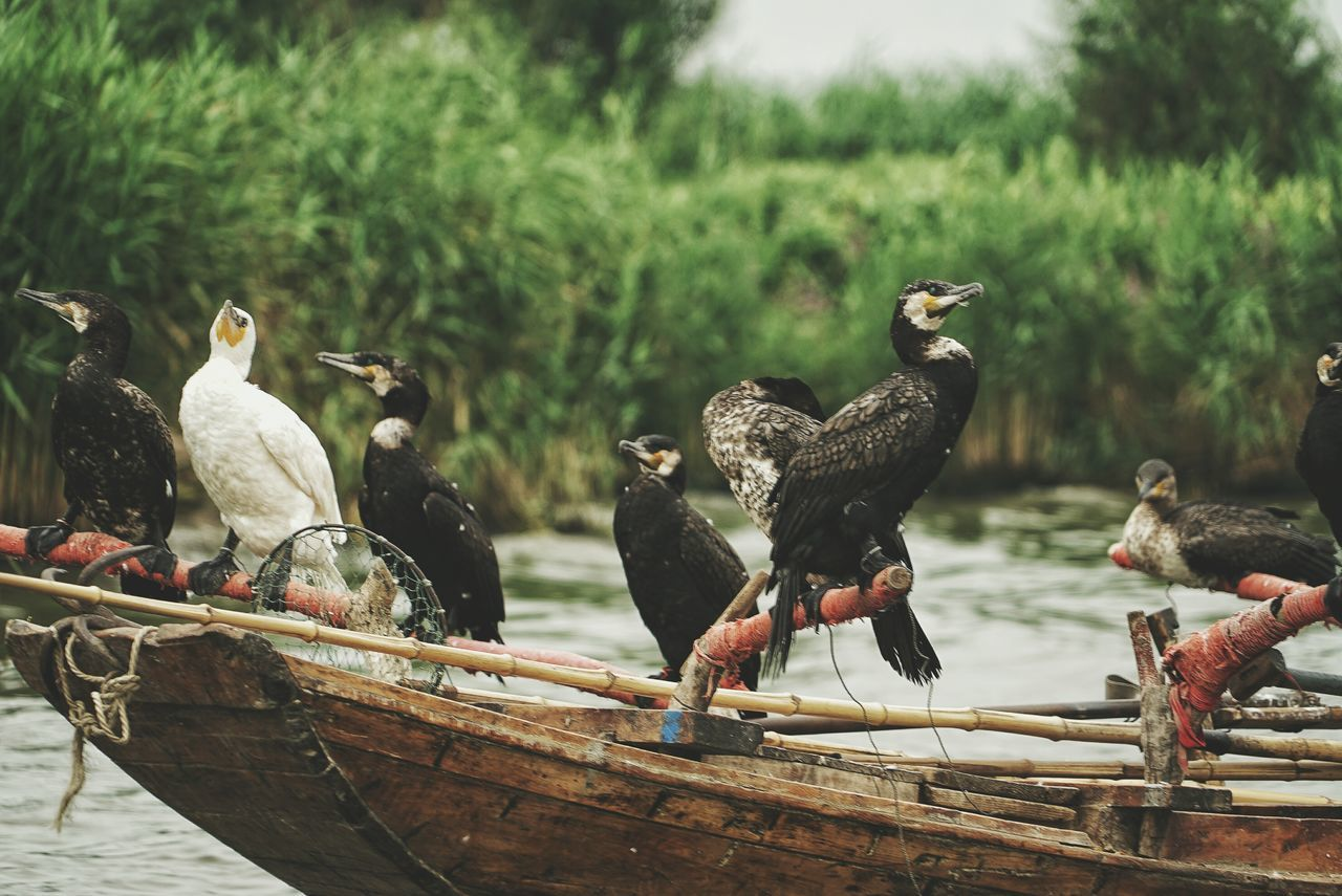 China Photos Cormorant  Cormorant Fishing Bird Animal Themes Travel Animals In The Wild Wildlife Focus On Foreground Perching Vertebrate Zoology Day Avian Beak Animal Traditional Fishermen's Life Fisherboat Streamzoofamily The Great Outdoors - 2017 EyeEm Awards