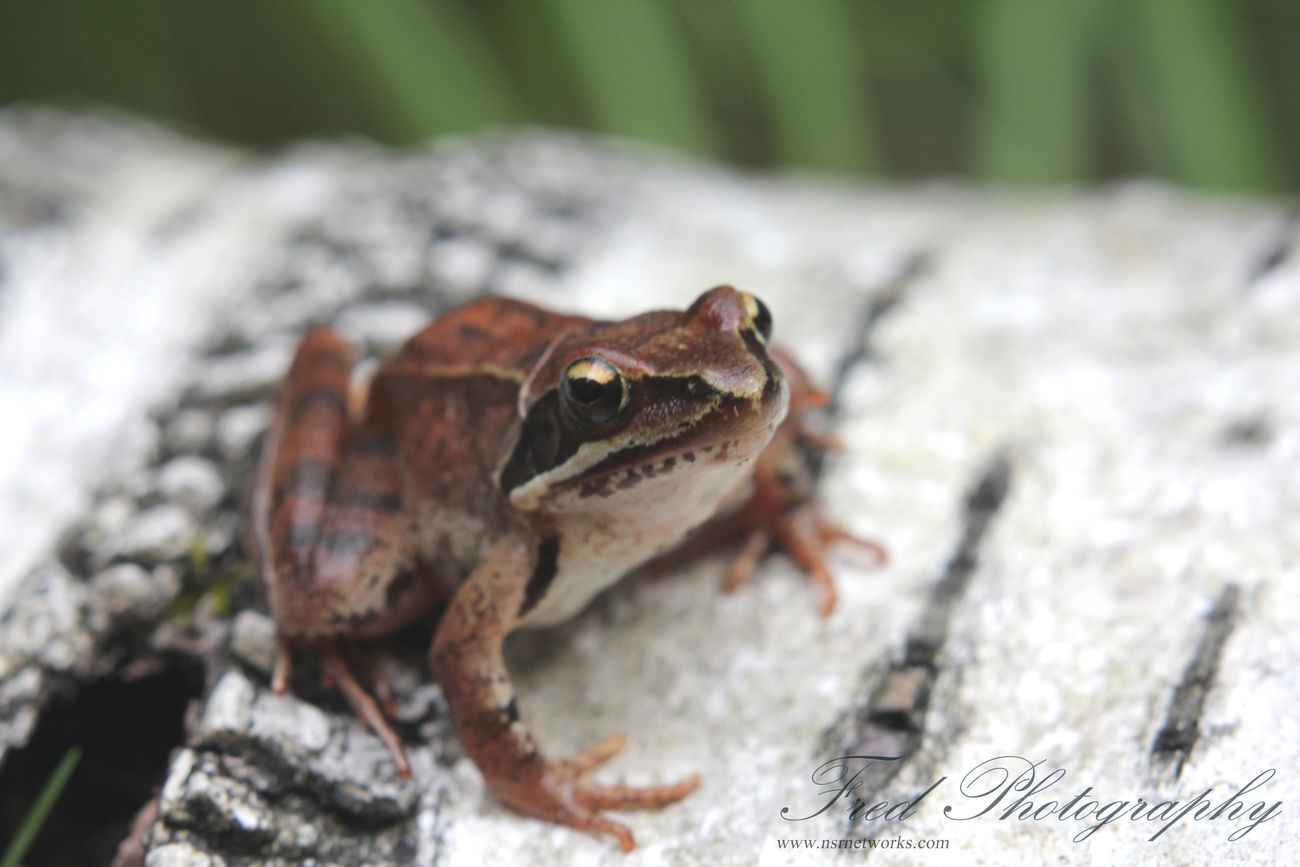 Nature Collection Grenouille Frogs Frog
