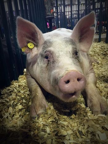 This lil piggy went to the county fair Animal Themes Domestic Animals One Animal Close-up Mammal Portrait Livestock Snout Animal Pig County Fair Looking At Camera In A Pen Animal Head  Nature Herbivorous Prize Winning