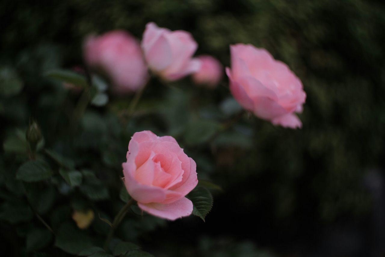 Pink Roses Blooming In Garden