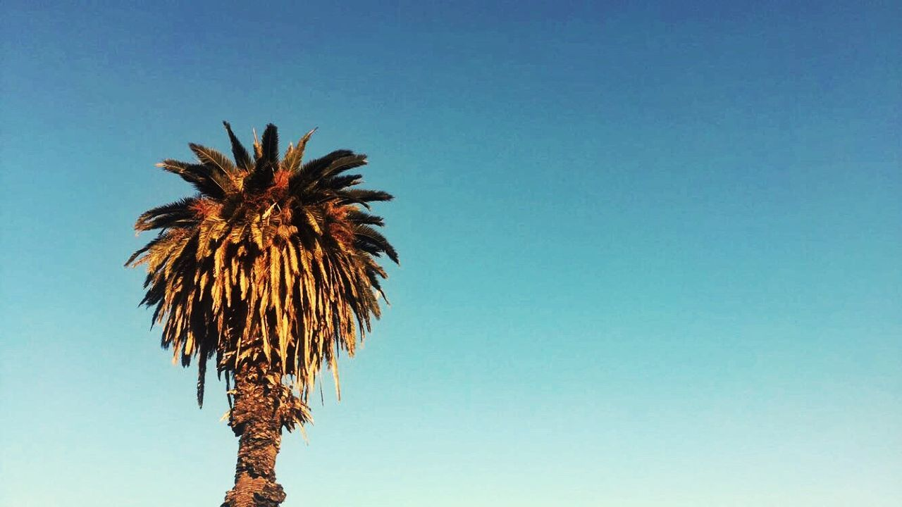 low angle view, clear sky, palm tree, no people, day, blue, sky, outdoors, growth, nature, beauty in nature