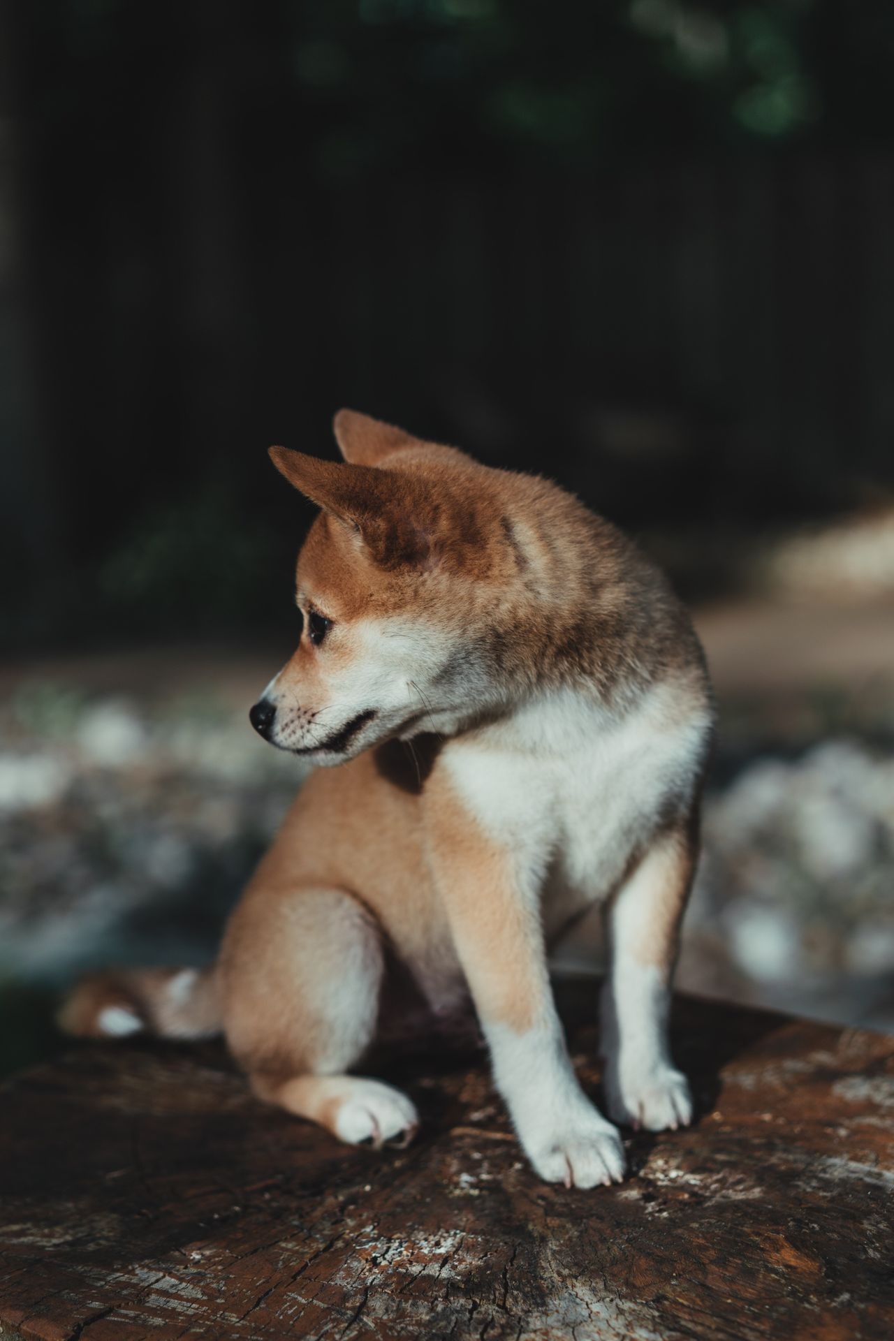 Animal Themes One Animal Pets Mammal Domestic Animals Dog Focus On Foreground Full Length No People Day Sitting Outdoors Close-up