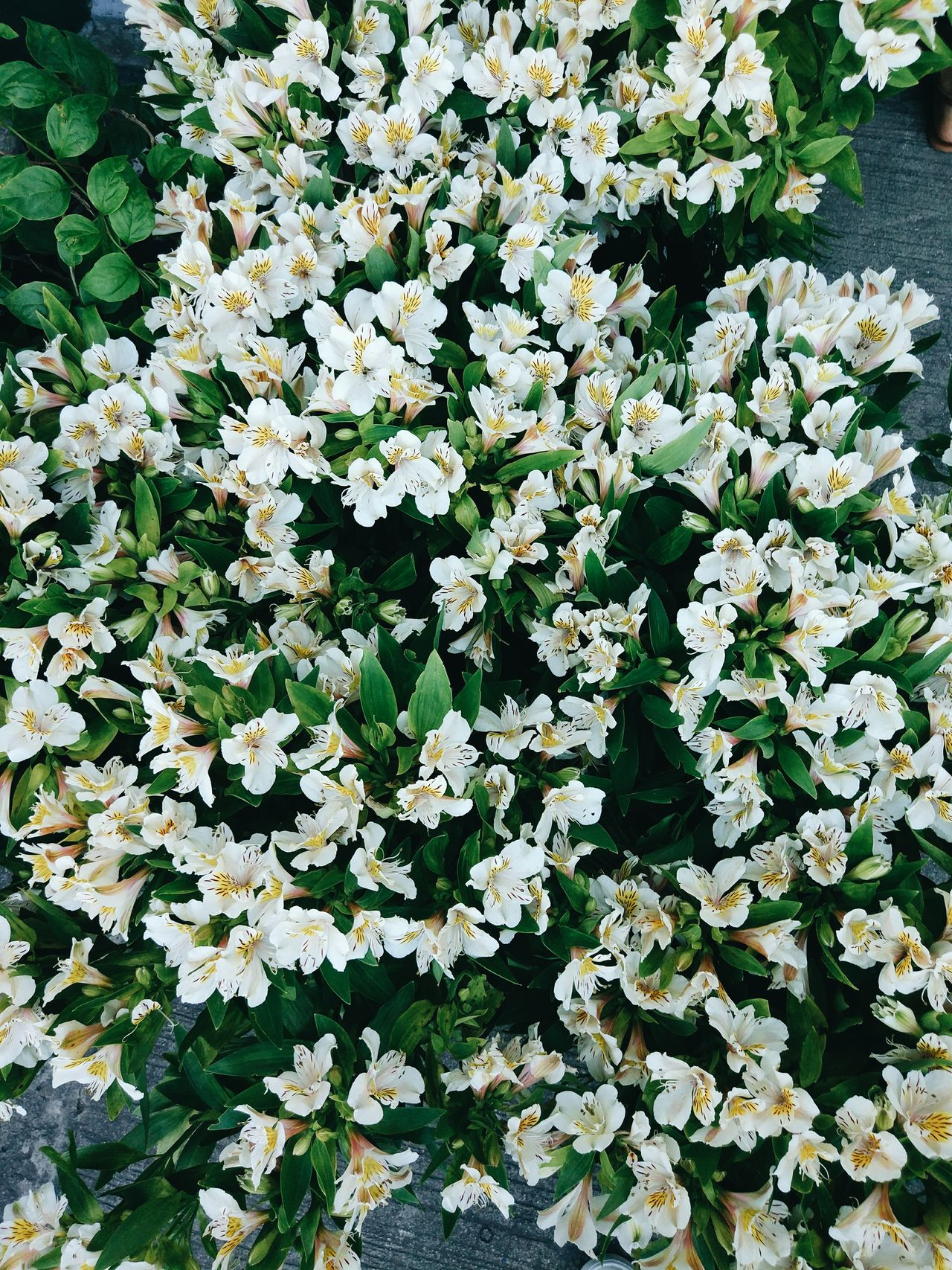 Nature Growth White Color Beauty In Nature Flower Freshness No People Plant Day Fragility Outdoors Blossom Backgrounds Close-up EyeEmNewHere Flowers Lily Bouquet Flowers,Plants & Garden Live For The Story