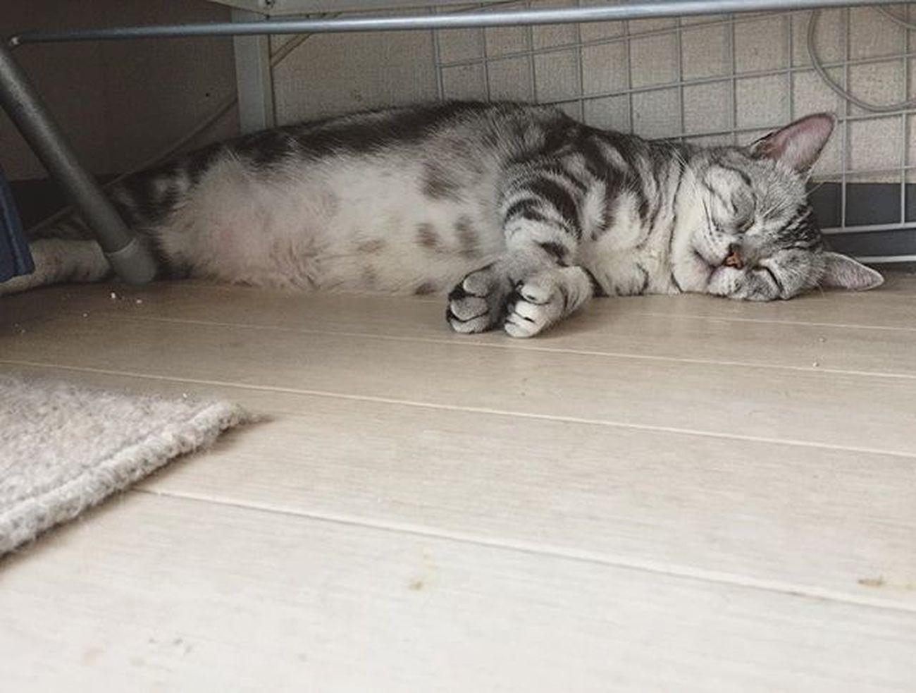 Cat Neko ねこ 猫 ねこ Cats アメリカンショートヘアー アメショ Americanshorthair ズズ ズズ子 Zuzu ズズっぺ シルバータビー 棚の下のズズ〜😆😸ズっぺ暑がりだからここが涼しいんだにゃ〜💕