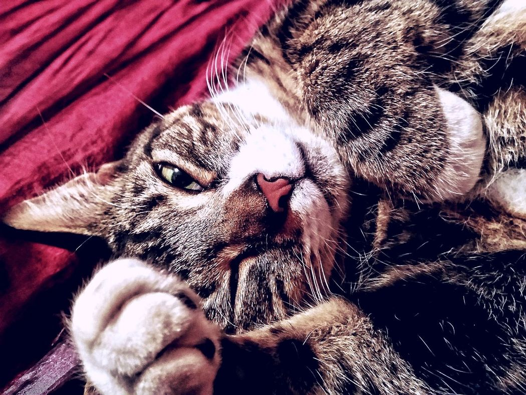 Pets Domestic Animals Animal Themes Domestic Cat Lying Down Close-up Cat No People Adult Animal Feline Indoors  Unitedkingdom Canveyisland Essex Besotted My Boy! Ninja Cat Whisker Relaxation