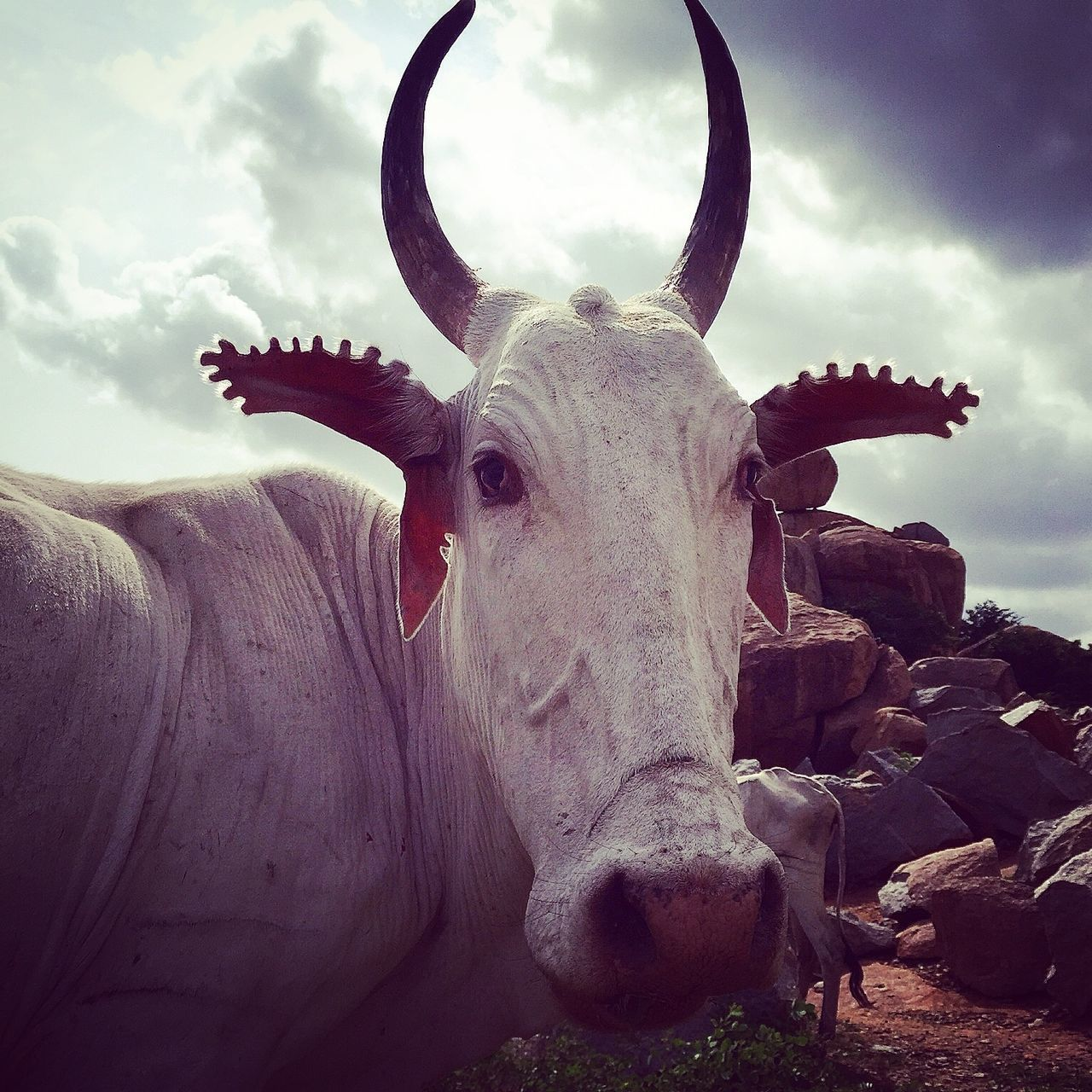 The Street Photographer - 2016 EyeEm Awards Hampi  India Cows Close Up Cow Horns Decorative Ears Traditions Streets Of India Interesting Perspectives Traditional Culture Cows Nose Indian Culture  EyeEm EyeEm Best Shots Eye4photography  EyeEm Best Edits EyeEmBestPics Farming Herd Of Cows