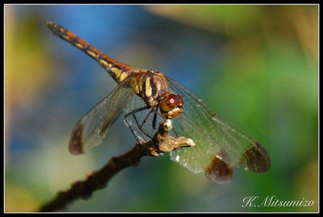 ノシメトンボ Dragonfly Tadaa Community 勝トンボ トンボ