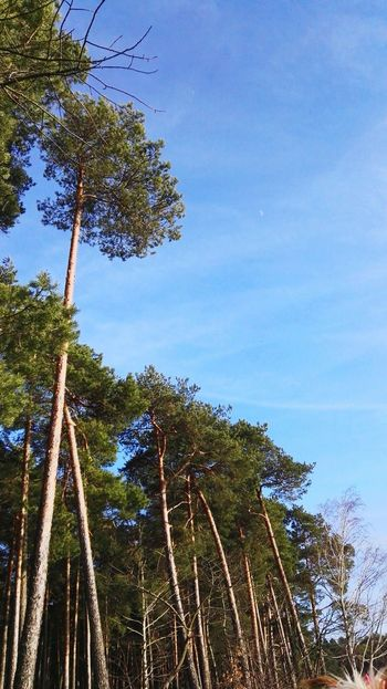 Tree Blue Low Angle View Sky Growth Nature No People Tranquility Outdoors Day Clear Sky Beauty In Nature Treetop