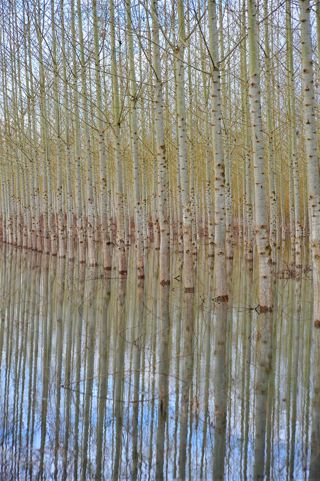 Beauty In Nature Cottonwood Trees Day Nature No People Outdoors Reflection Scenics Tranquil Scene Tranquility Tree Tree Farm Water If Trees Could Speak Break The Mold
