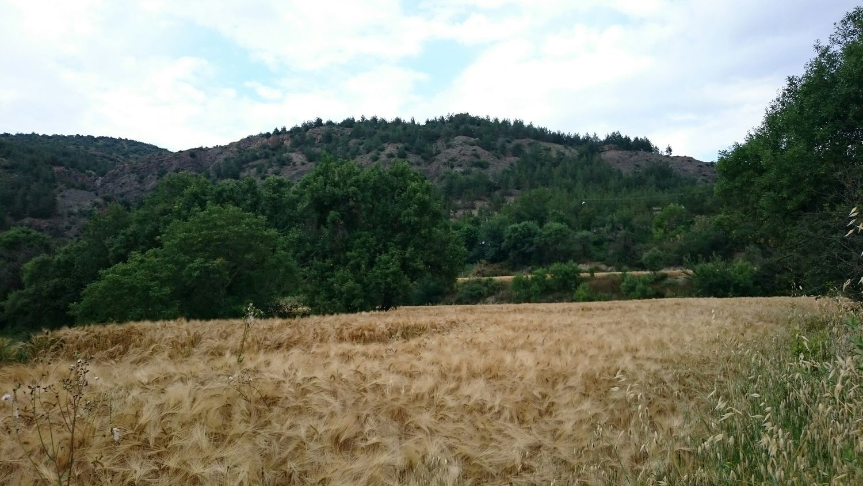 Field Of Wheat SK Fotografii😊 Sony Xperia Z3 Natural