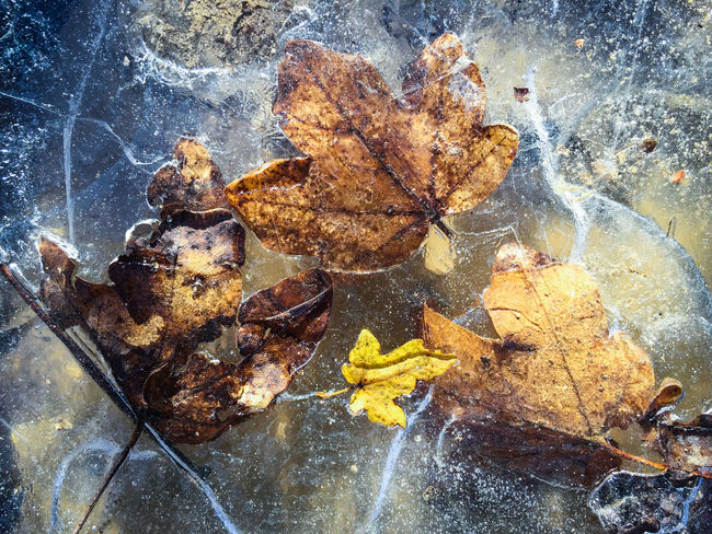 Autumn Autumn Autumn Collection Autumn Colors Autumn Leaves Autumn🍁🍁🍁 Cold Cold Day Cold Days Cold Temperature Cold Weather Coldweather Colors And Patterns Dry Fallen Fragility Frost Frozen Iced Leaf Leaves Leaves_collection Leaves🌿 Nature Season