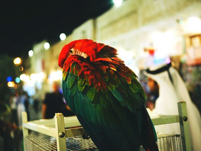 Qatar Bird Parrot Colorful Beautiful Souq Waqif Qatar Days Locals Market Middle East