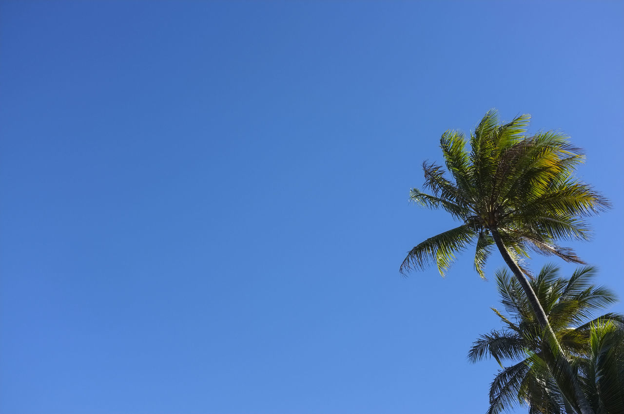 palm tree, blue, tree, clear sky, low angle view, copy space, nature, day, no people, growth, palm frond, beauty in nature, outdoors, tranquility, tranquil scene, scenics, tree trunk, sky