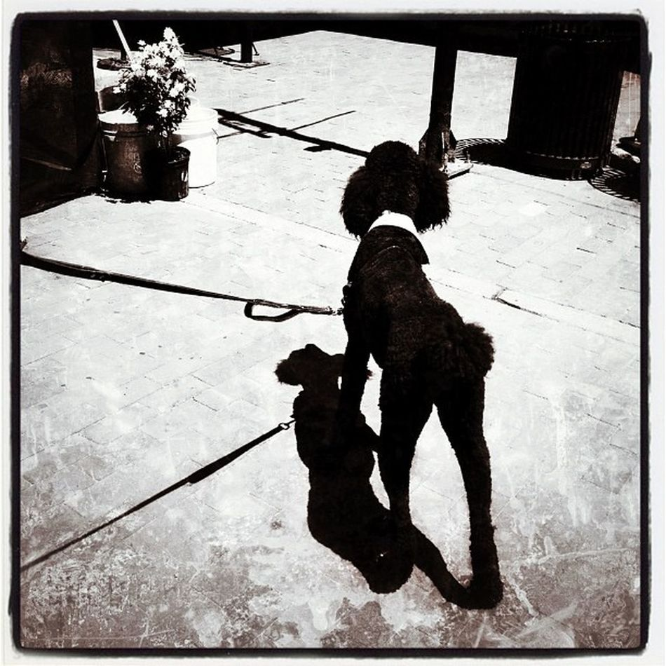 Shadow and Silhouette play nice. #btv #vt Jazzfest Vt IPhoneography Btv Dog Vt_scenery Downtown Vermont_scenery Shadow Vt_scene Silhouette Black_white Bark Vermont_scene Puppy Church_street Bw Bdjf Doggy Woof Burlington Poodle Instagood Canine