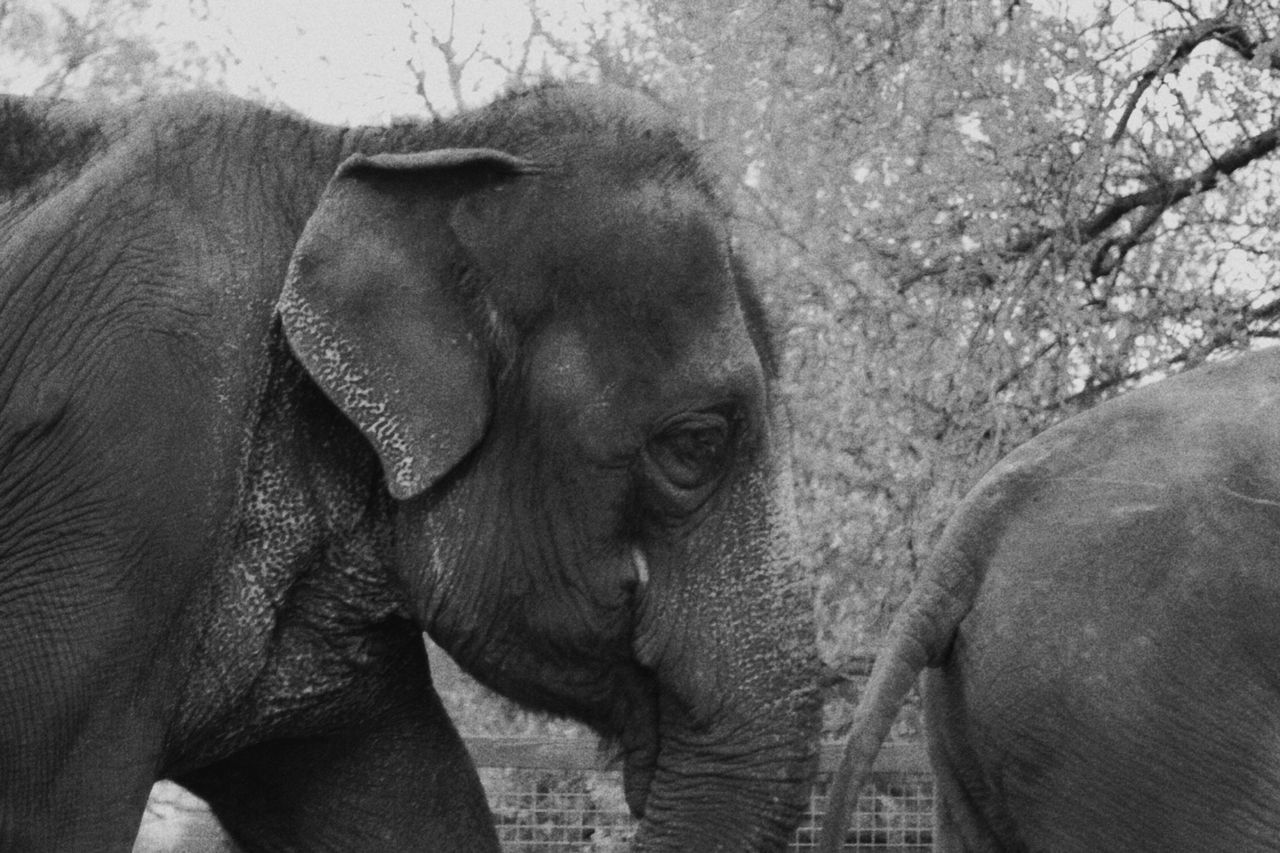 Out for a walk Elephant Animals Blackandwhite Black And White Wild Whipsnade Zoo Hertfordshire