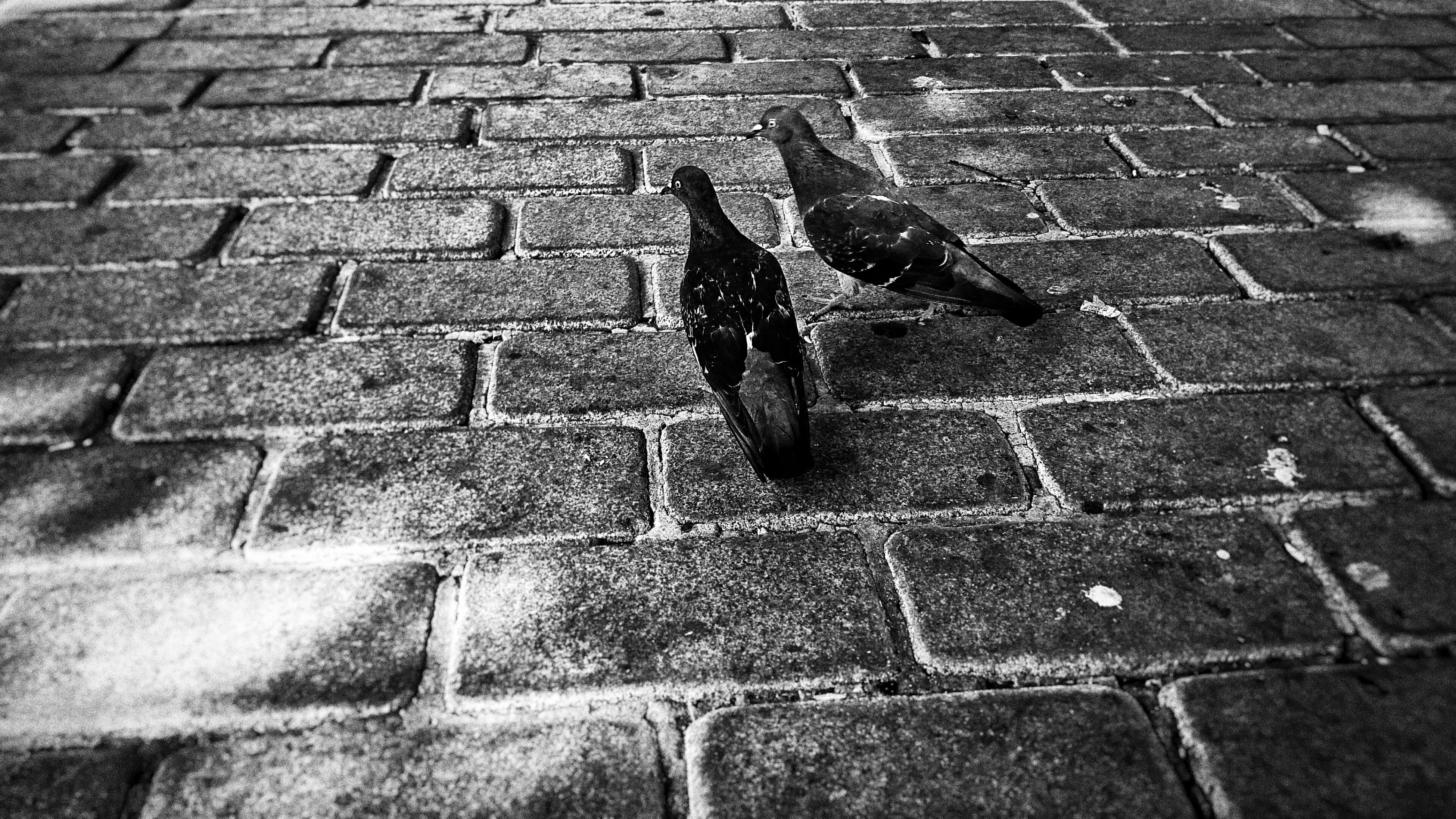 animal themes, one animal, animals in the wild, wildlife, street, zoology, day, outdoors, paving stone, footpath, no people, domestic animals