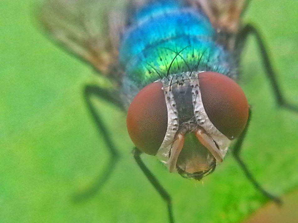 Amazing Beauty of Blue Bottle Fly in a Macro. Blue Bottle Fly Fly Insect Paparazzi Insect Photography Macro Macro_collection Macro Beauty Macro Photography Check This Out Taking Photos Check This Out Eyeem4photography Eye4photography  Eyeem Best Image Eyeem Best Click EyeEm Gallery EyeEm Getty Images From My Point Of View Showcase: February Faces Of Summer EyeEm Best Shots Hello World Hello World Wonder Of Nature