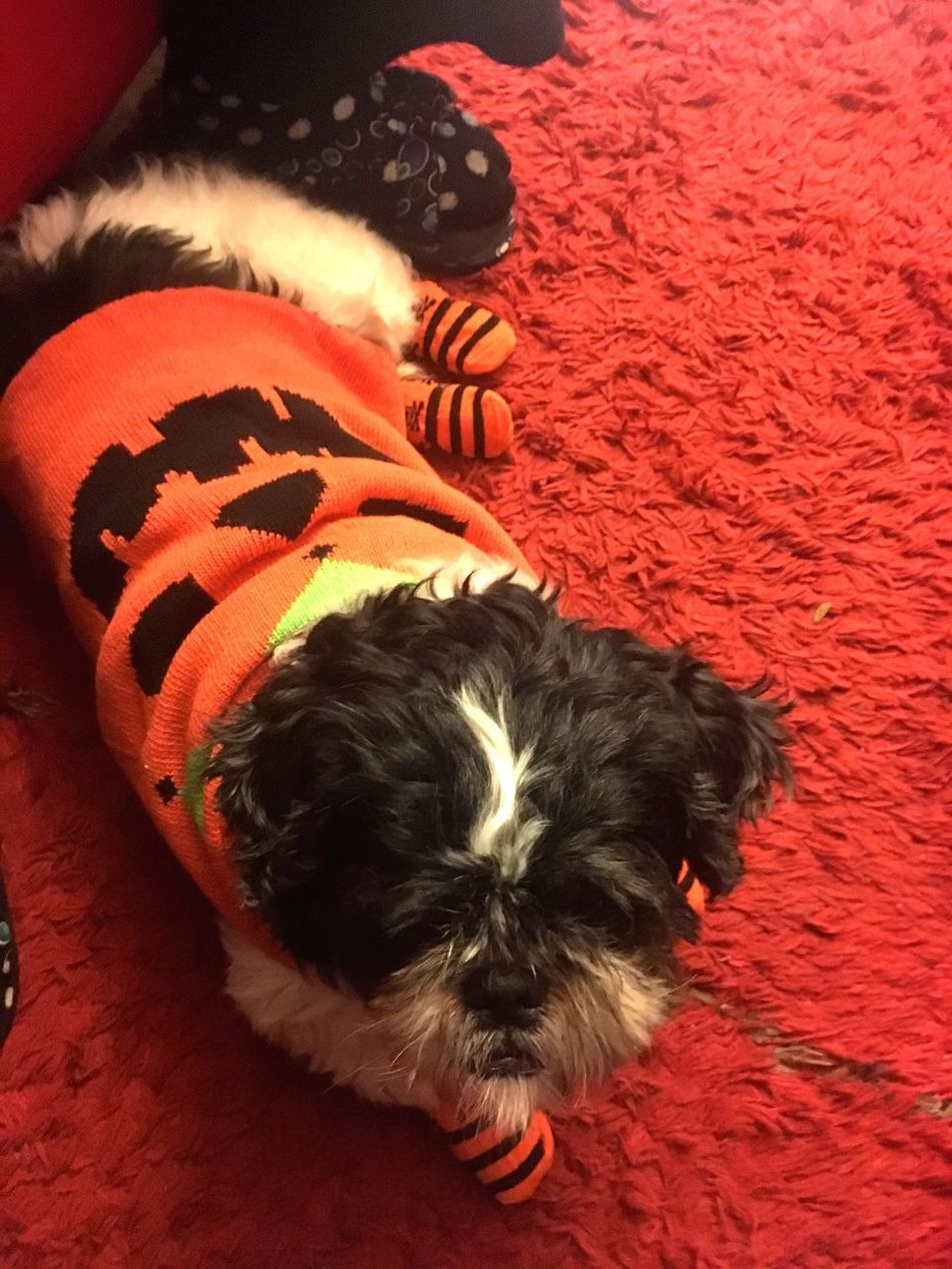 Pets Dog One Animal Domestic Animals Mammal Animal Themes Looking At Camera Portrait Christmas No People Indoors  Pet Clothing Photography Baby Puppy Halloween Shih Tzu Dogs Focus Object Close-up Shih Tzu Day