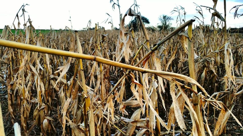 The leftovers from the harvest. Showcase: February Corn Plants And Flowers Death Decay Farming Farm Life Farm Photos The Leftovers Forming New Ground For Later Use