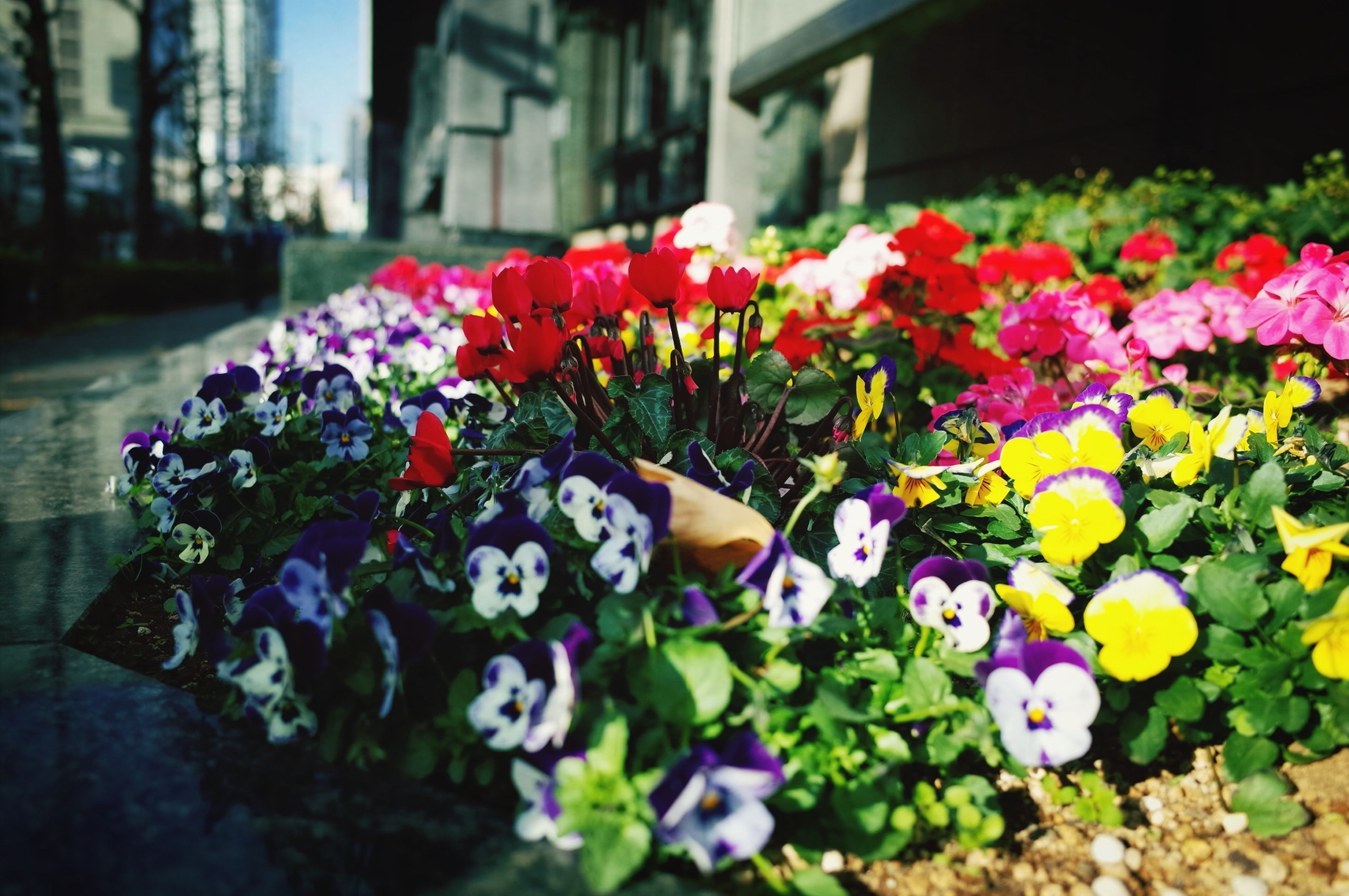 flower, fragility, freshness, petal, multi colored, flower head, blooming, beauty in nature, abundance, pink color, growth, focus on foreground, colorful, nature, purple, plant, selective focus, variation, in bloom, flowerbed