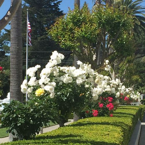 A row of white rose bushes - Showcase April April Flowers Beauty In Nature White Whimsy Secret Garden
