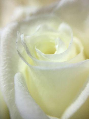 Flower Close-up Rose - Flower Rosé Smell Goodsmell Good Nice Macro Roses White